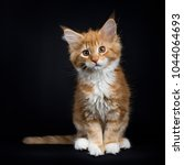 Stock photo  red tabby with white maine coon cat kitten sitting facing the camera with tail to the side 1044064693