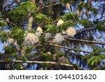 ceiba pentandra or 'buah kekabu'... | Shutterstock . vector #1044101620