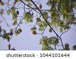 ceiba pentandra or 'buah kekabu'... | Shutterstock . vector #1044101644
