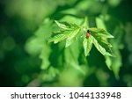 insects mating. ladybug mating... | Shutterstock . vector #1044133948