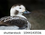 A Female Long Tailed Duck Clos...