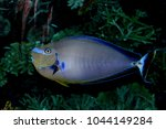 surgeonfish saltwater tangs | Shutterstock . vector #1044149284