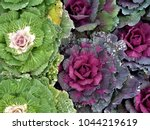 Beautiful Ornamental Cabbages