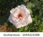 Stock photo white rose new delhi india march 1044223288