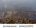 Large Barnacles And Seaweed...