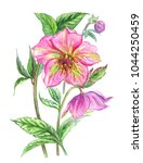 spring flower hellebore ... | Shutterstock . vector #1044250459