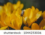 honey bee collect nectar from...   Shutterstock . vector #1044253036