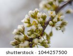Small photo of Cherry-plum flowers white on a branch close-up. Half-open buds on the tree of cherry plum. Natural background for phones and computer screens.