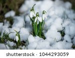 flowers snowdrops with snow and ... | Shutterstock . vector #1044293059