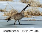 a canadian goose walking on ice ... | Shutterstock . vector #1044294388