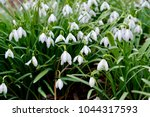 white spring snowdrops.... | Shutterstock . vector #1044317593