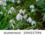 white spring snowdrops.... | Shutterstock . vector #1044317596