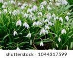 white spring snowdrops.... | Shutterstock . vector #1044317599