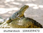 eastern water dragon  australia | Shutterstock . vector #1044359473