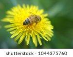 macro honeybee on yellow flower. | Shutterstock . vector #1044375760