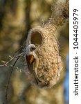 eurasian penduline tit  remiz... | Shutterstock . vector #1044405979