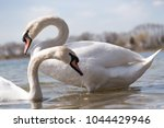 beautiful white swan couple on... | Shutterstock . vector #1044429946