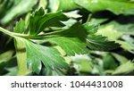 parsley leaf. green parsley.... | Shutterstock . vector #1044431008