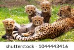 Stock photo cheetah cubs with mother 1044443416