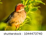 male house sparrow or passer... | Shutterstock . vector #1044473740