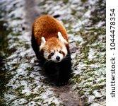 Small photo of Portrait of a Red Panda ( Ailurus fulgens )