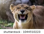 Female Lioness Roaring Open He...