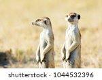 meerkat in golden morning light | Shutterstock . vector #1044532396