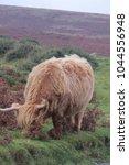 Highland Cattle Up On Dartmoor...