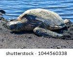 Small photo of Hawksbill Seq Turtle