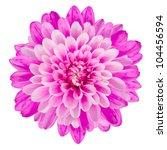 Pink Chrysanthemum Flower...