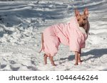 cute american hairless terrier... | Shutterstock . vector #1044646264