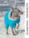 cute american hairless terrier... | Shutterstock . vector #1044646270