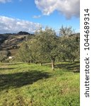 Olive Trees Field In Cartoceto...