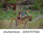 baby chacma baboon hitching a... | Shutterstock . vector #1044707560