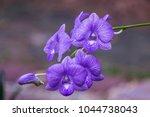 Violet Orchid Flower Texture...