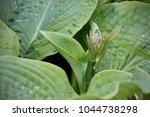Bud Of Blooming Hosta