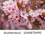 pink cherry blossom  japanese... | Shutterstock . vector #1044870490