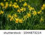 many yellow daffodils in spring ... | Shutterstock . vector #1044873214