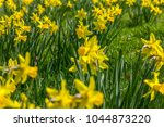 many yellow daffodils in spring ... | Shutterstock . vector #1044873220