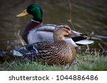 Male And Female Mallard Duck...