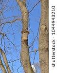 Small photo of Birdhouse on maple of Schwedler (acer platanoides f. Schwedlerii) in winter