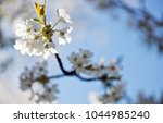 cherry blossom in front of blue ... | Shutterstock . vector #1044985240