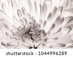Stock photo chrysanthemum in full bloom close up macro of flower petals in black and white abstract texture 1044996289