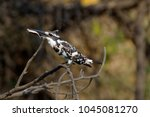 pied kingfisher eating fish | Shutterstock . vector #1045081270