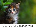 Stock photo close up of a cute brown patched blue eyes kitten sitting on a wooden floor in garden adorable cat 1045092334