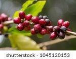 close up  arabica coffee berrys ... | Shutterstock . vector #1045120153