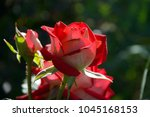Stock photo buds of a red rose in a garden close up 1045168153