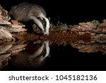 european badger drinking water... | Shutterstock . vector #1045182136