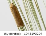 cnephasia longana the... | Shutterstock . vector #1045193209