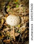 Small photo of lethal poisonous mushroom in the forest